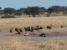 vultures - khama rhino