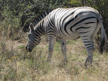 zebra - serowe