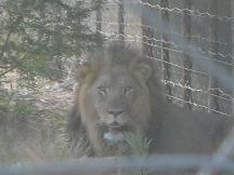 male lion tautona